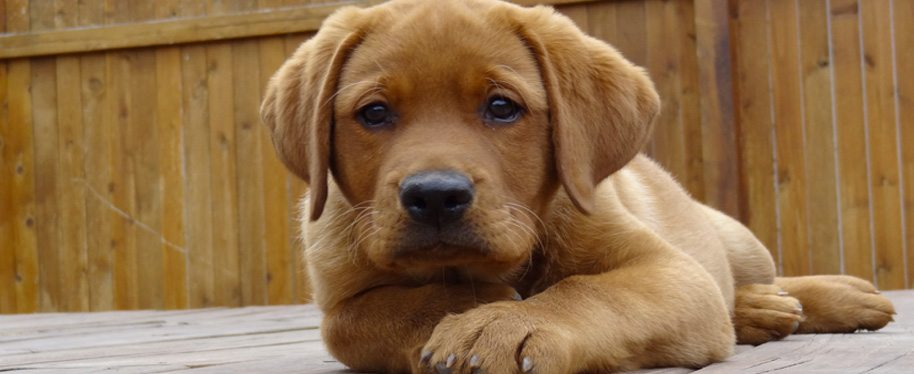 English Labradors | Fox Red Labradors | Labrador Retriever Puppies